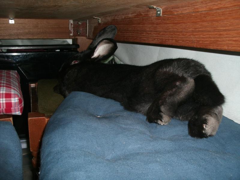 Edenne, belle lapine noire grand gabarit (association Poil de Carotte) 59 Gedc0317
