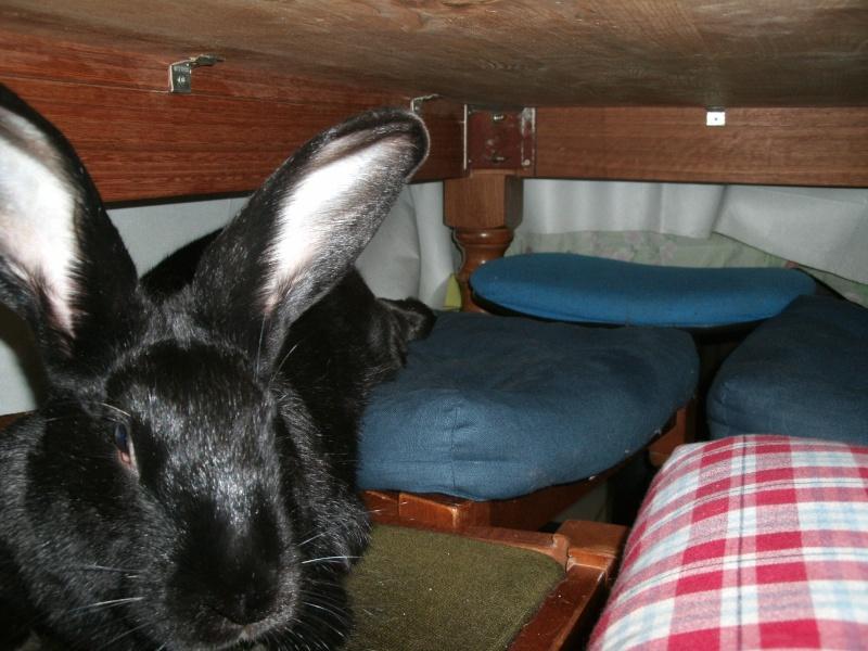 Edenne, belle lapine noire grand gabarit (association Poil de Carotte) 59 Gedc0318