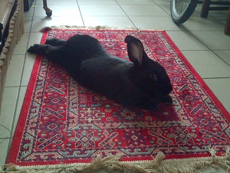 Edenne, belle lapine noire grand gabarit (association Poil de Carotte) 59 Img-2067