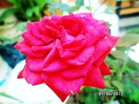 le royaume des rosiers...Vive la Rose ! - Page 13 216