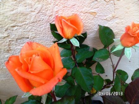 le royaume des rosiers...Vive la Rose ! - Page 13 315