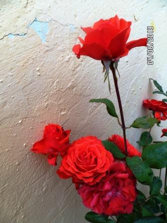 le royaume des rosiers...Vive la Rose ! - Page 13 413