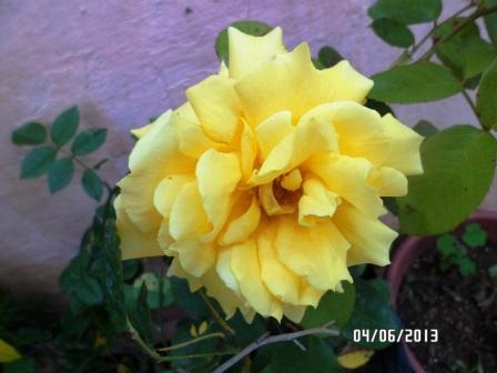 le royaume des rosiers...Vive la Rose ! - Page 13 512