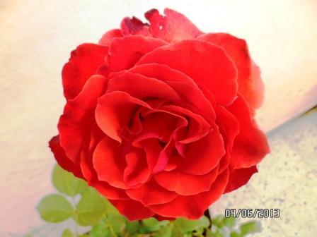 le royaume des rosiers...Vive la Rose ! - Page 13 613