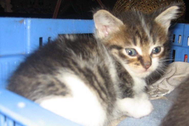 Ivanhoé chaton hyper câlin et attachant né le 9 avril 2013 (adopté par sandrine59 ) Ivanho10