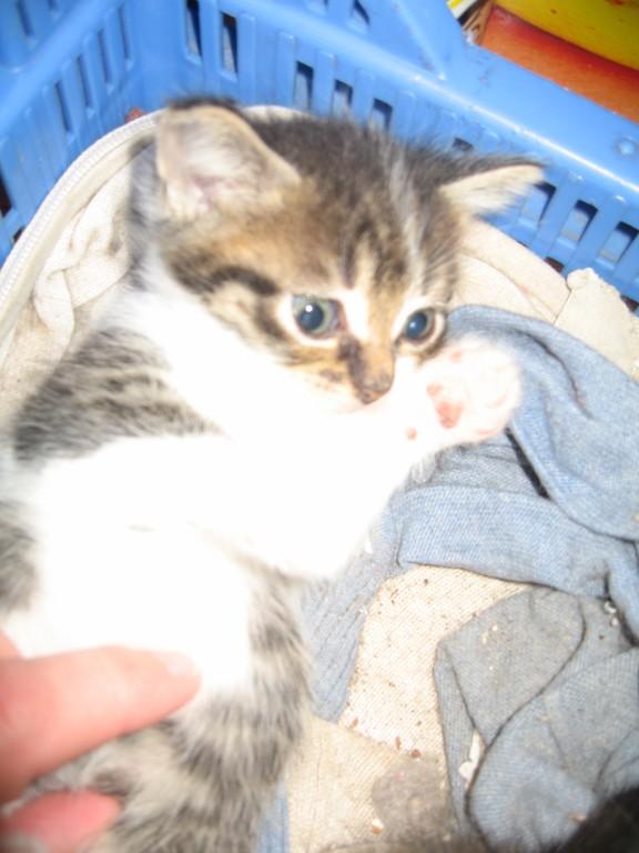 Ivanhoé chaton hyper câlin et attachant né le 9 avril 2013 (adopté par sandrine59 ) Ivanho11