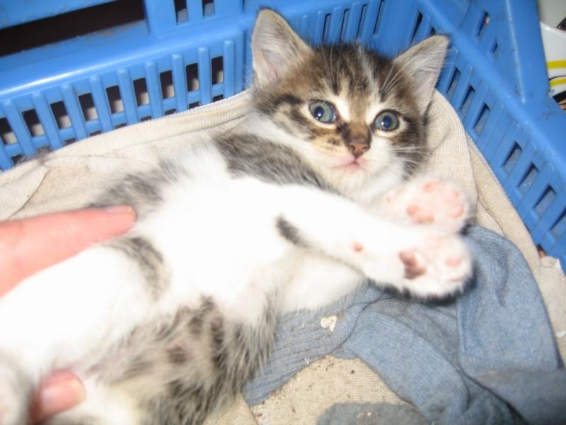 Ivanhoé chaton hyper câlin et attachant né le 9 avril 2013 (adopté par sandrine59 ) Ivanho12