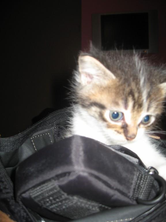 Ivanhoé chaton hyper câlin et attachant né le 9 avril 2013 (adopté par sandrine59 ) Ivanho14
