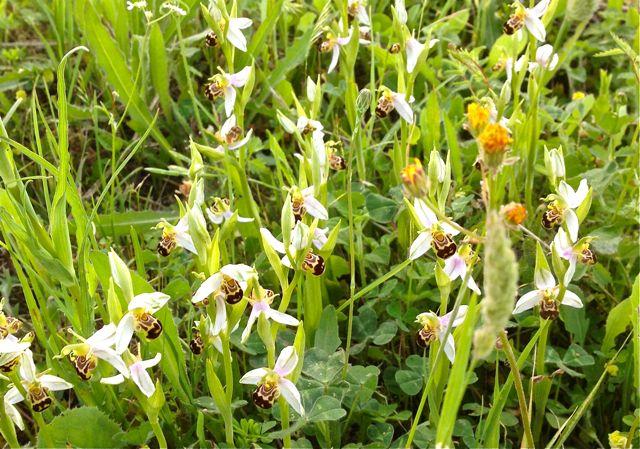 Des orchidées de Gargano, Tarento et Lecce Img_1012