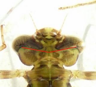 larve d'aeshne? P1060011