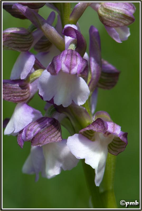 2 jours dans les Alpes ligures : Orchidées, Flore, tourisme Col-de19