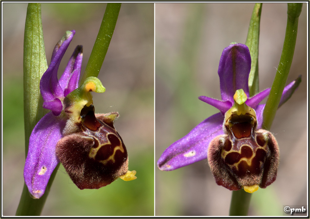 Ophrys fuciflora subsp souchei O_souc13