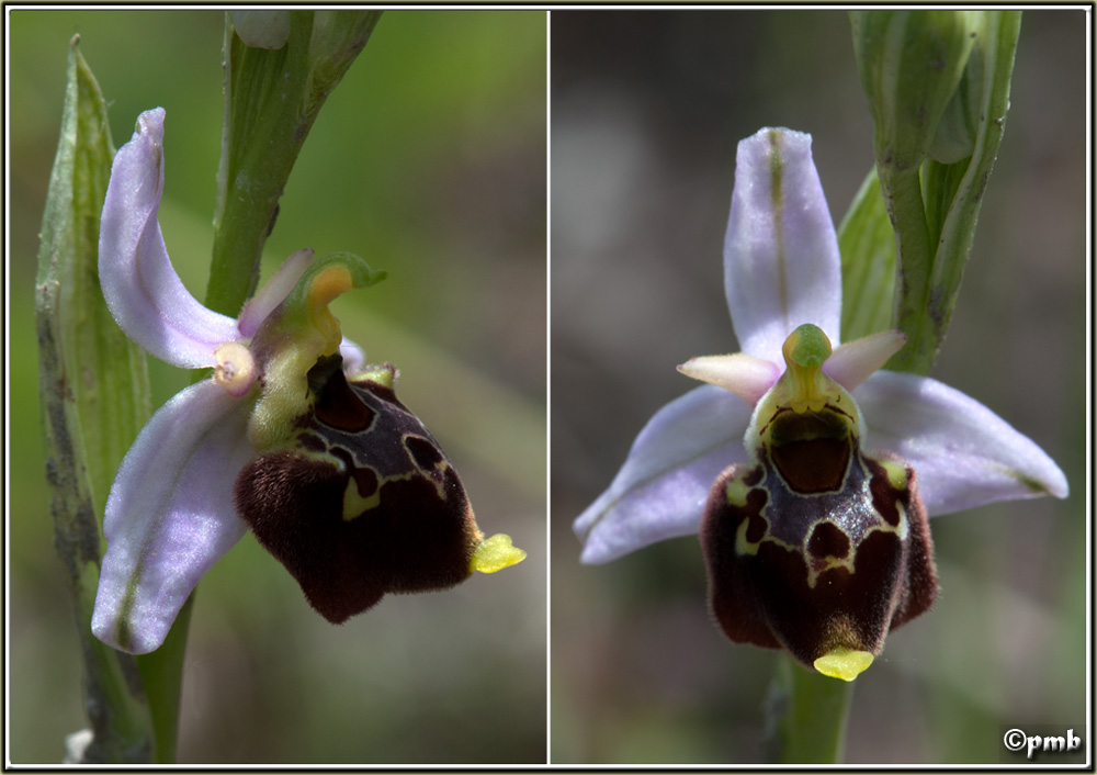 Ophrys fuciflora subsp souchei O_souc14
