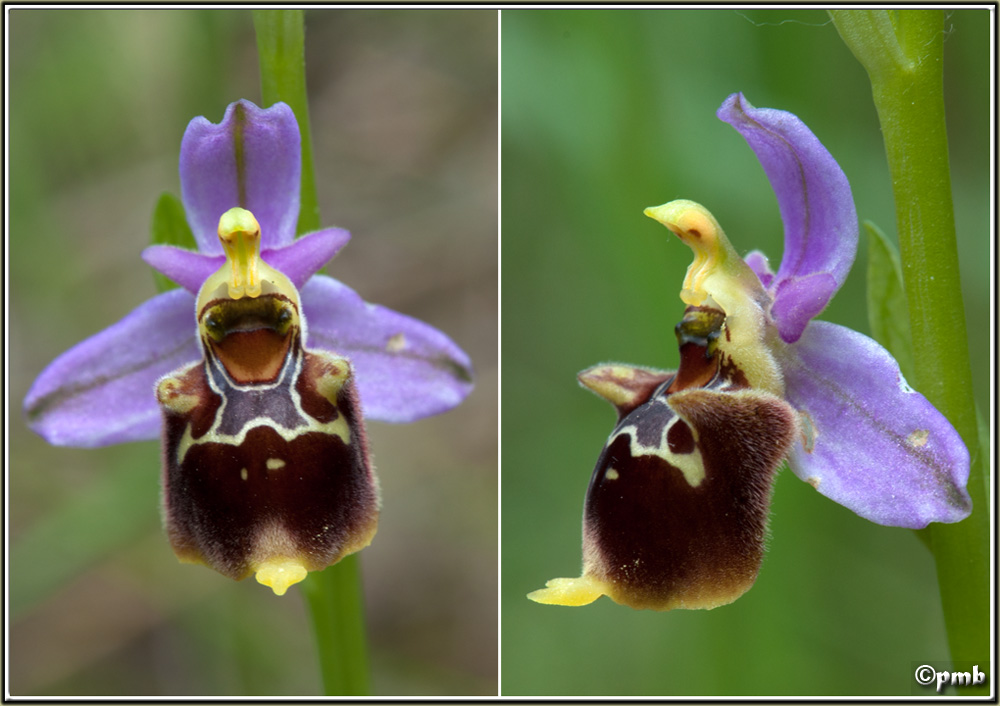 Ophrys fuciflora subsp souchei O_souc15