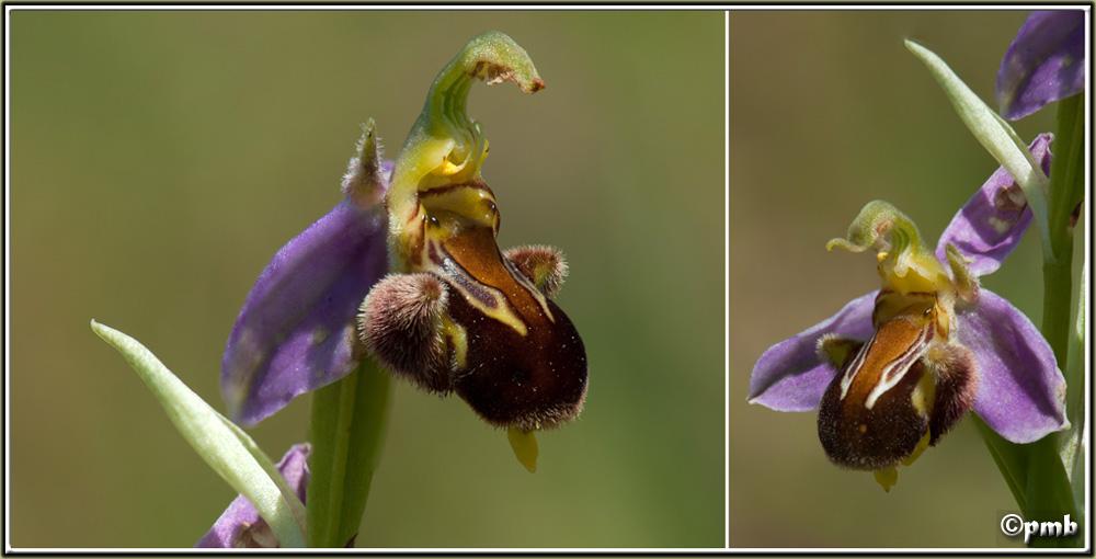Ophrys apifera particulier de Néoules (Var) Opapif10