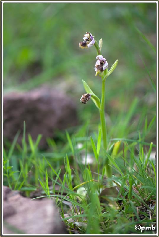 La 93ème espèce du Var : Ophrys tenthredinifera Ophrys10