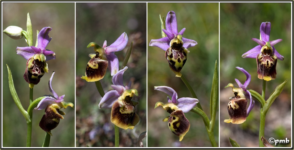 Ophrys druentica (Ophrys de la Durance) Ophrys59