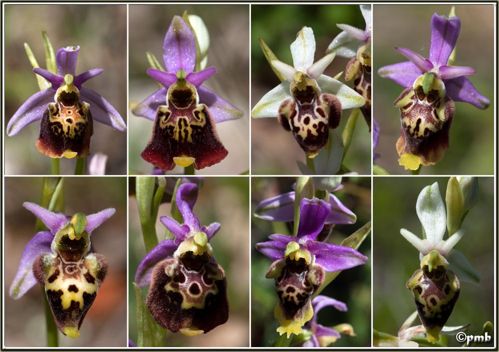 Ophrys druentica (Ophrys de la Durance) Ophrys60