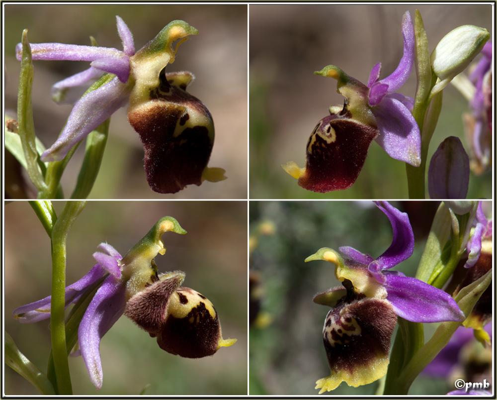 Ophrys druentica (Ophrys de la Durance) Ophrys61