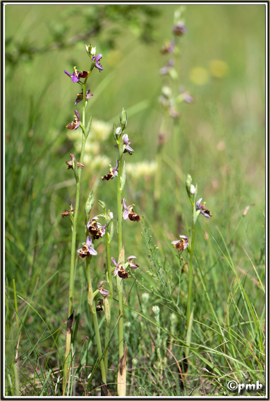 Ophrys fuciflora subsp. montiliensis Ophrys88