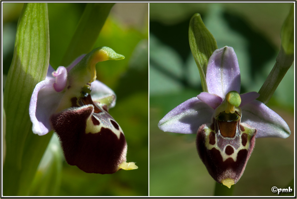 Ophrys fuciflora subsp. montiliensis Ophrys91