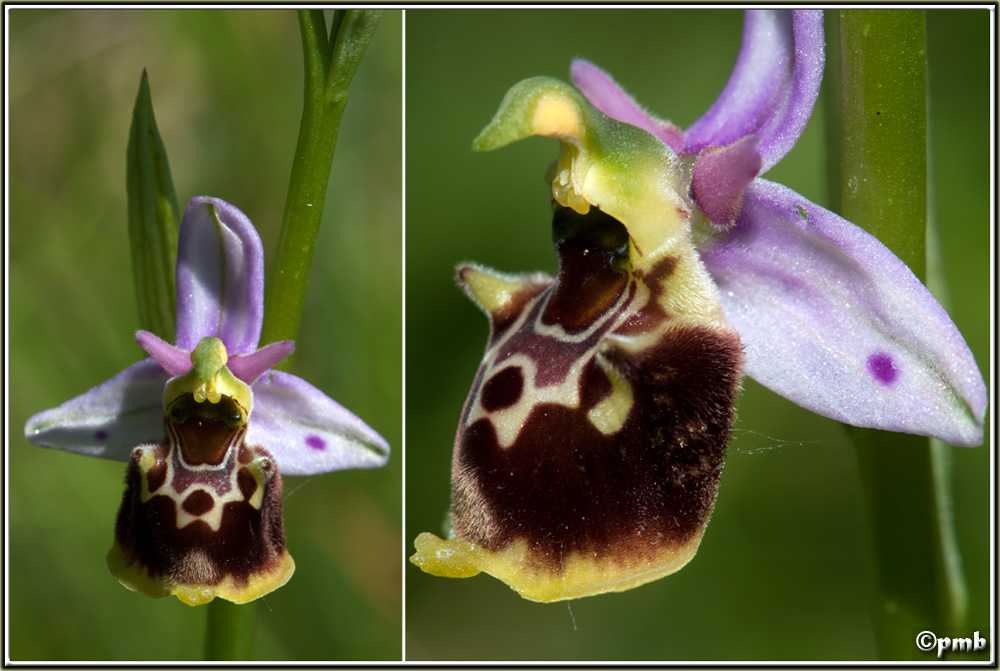 Ophrys fuciflora subsp. montiliensis Ophrys92
