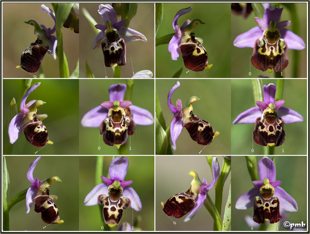 Ophrys fuciflora subsp. montiliensis Ophrys94