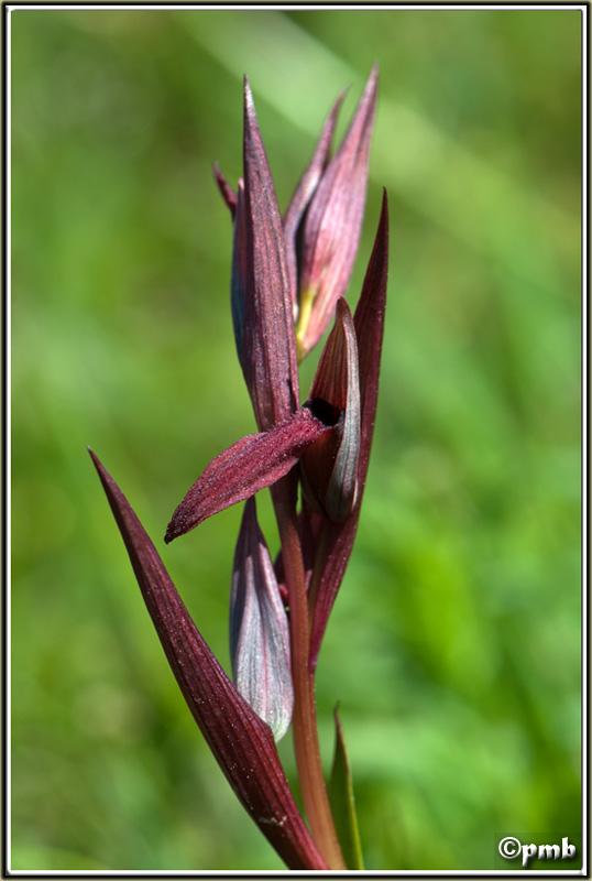 Serapias gregaria/strictiflora ( Sérapias à fleurs raides ) Serapi11