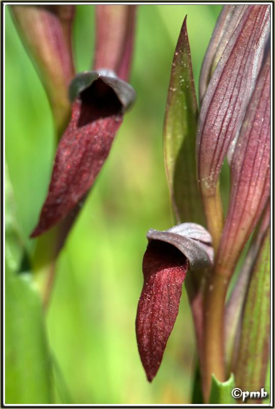 Serapias gregaria/strictiflora ( Sérapias à fleurs raides ) Serapi12
