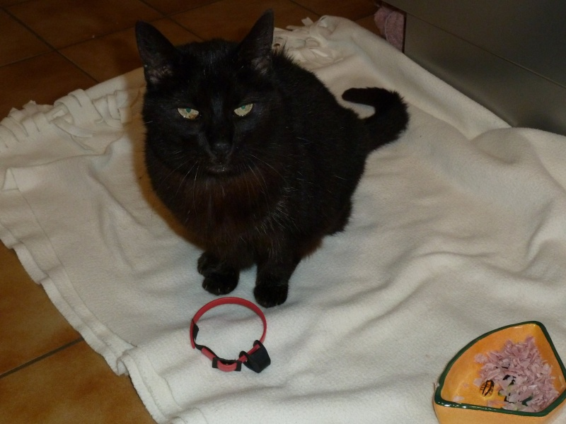Trouvé chatte noire à Tournefeuille 47489110