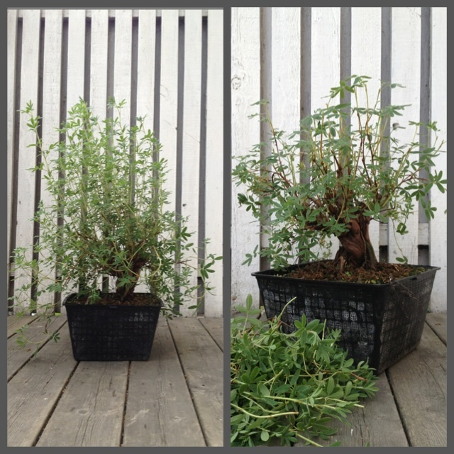 Potentilla, how to train/prune for ramifikation Image12
