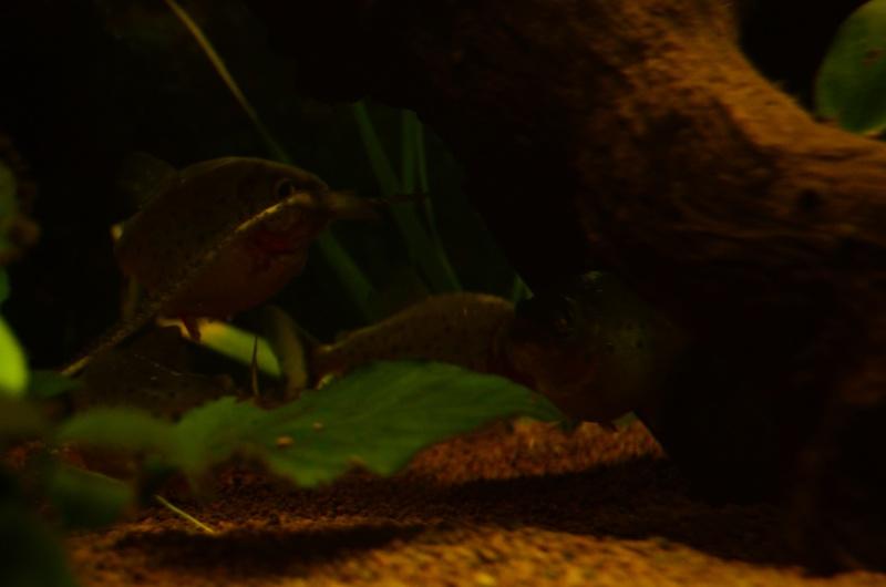 Bac de 600L Pygocentrus Nattereri (piranhas) _rvi4415