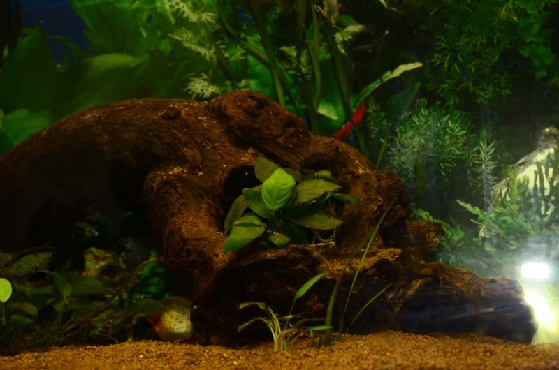 Bac de 600L Pygocentrus Nattereri (piranhas) _rvi4416