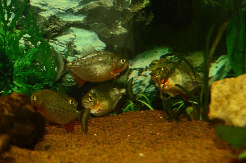 Bac de 600L Pygocentrus Nattereri (piranhas) _rvi4417