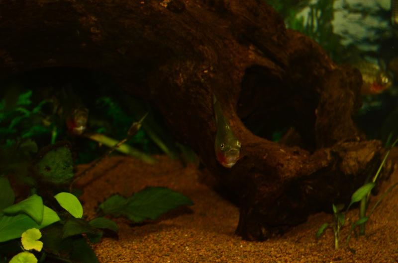 Bac de 600L Pygocentrus Nattereri (piranhas) _rvi4418