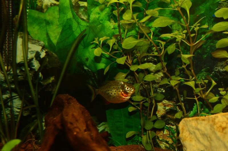 Bac de 600L Pygocentrus Nattereri (piranhas) _rvi4419