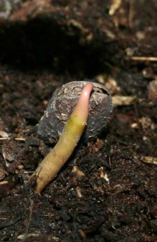 Qui veut cultiver  paw paw / Asimina triloba  (asiminier)? - Page 2 Asimin10