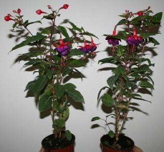 Le Fuchsia-culture et entretien Fuchsi14