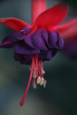 Le Fuchsia-culture et entretien Passio10