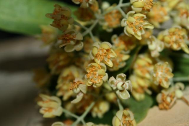 floraisons des arbres et des arbustes - Page 5 Tilleu10