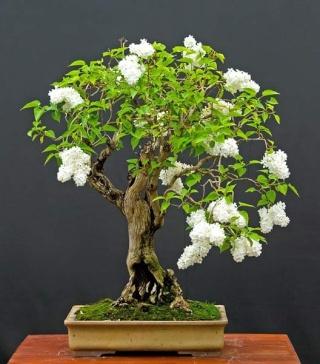 mes bonsaïs - Page 2 White_10