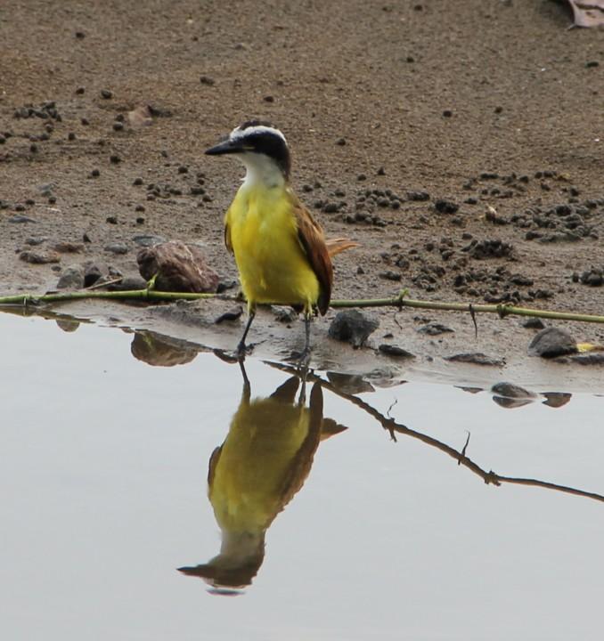 Géraldine Costa Rica 2013 Oiseau10