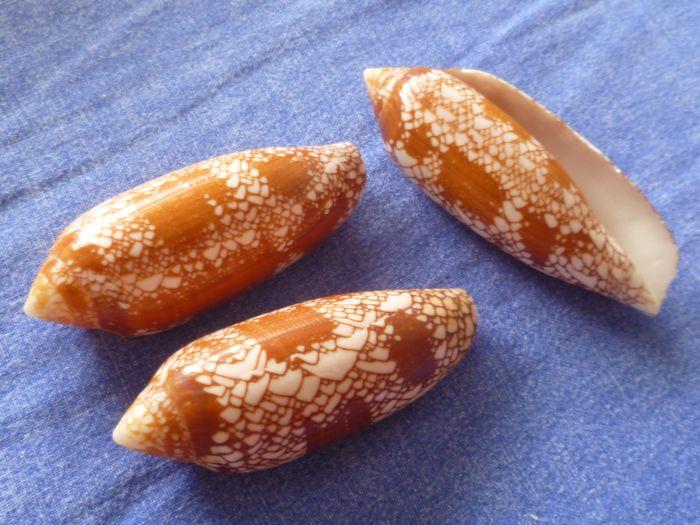 Conus (Darioconus) auratinus da Motta, 1982 P1070912