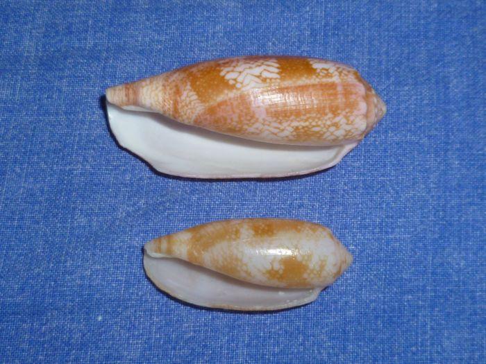 Conus (Gastridium) eldredi   Morrison, 1955 P1070913
