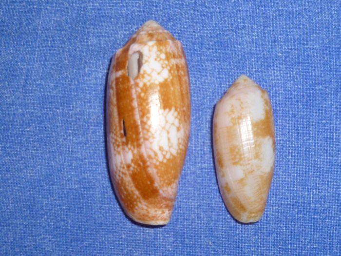 Conus (Gastridium) eldredi   Morrison, 1955 P1070914