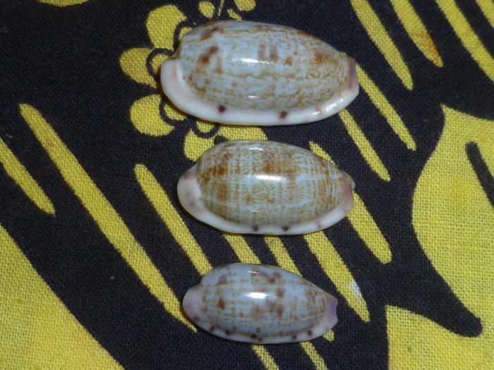 Talostolida violacincta - (Lorenz, 2002) P1080111