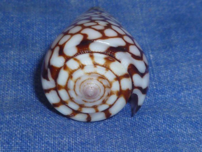 Conus (Eugeniconus) marchionatus   Hinds, 1843 P1080231