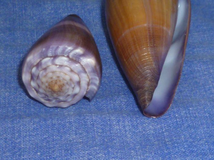 Sanguinolentus - Conus (Lividoconus) sanguinolentus  Quoy & Gaimard, 1834 - Page 2 P1080320