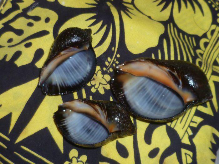 Purpura persica - (Linnaeus, 1758) P1080423