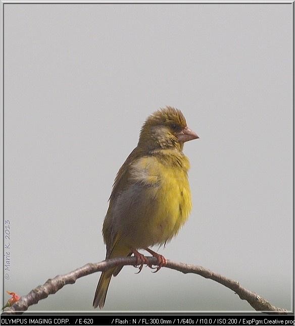 Petite jaune sur la branche P5045410